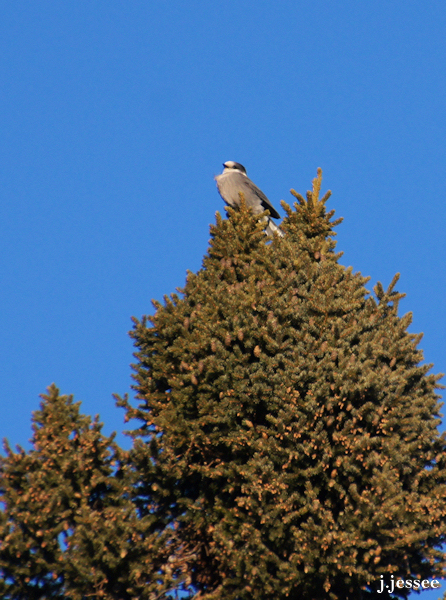 Gray Jay on a spruce tree