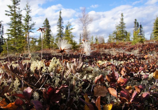 Colorful plants & lichen on a mountaintop near Chena Hot Springs - Around Alaska