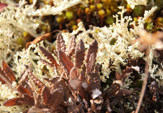 Beatiful plants & lichen on a mountaintop near Chena Hot Springs - Around Alaska